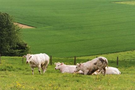 koeien in de weide IMG_5618