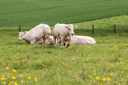koeien in de weide IMG_5633