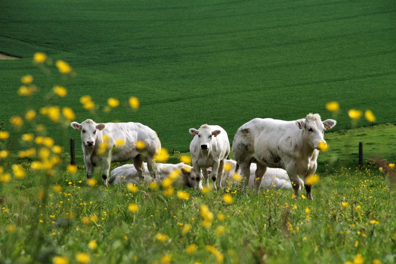 koeien in de weide IMG_5640