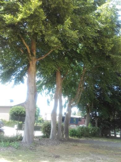 bomenrij aan straatkant