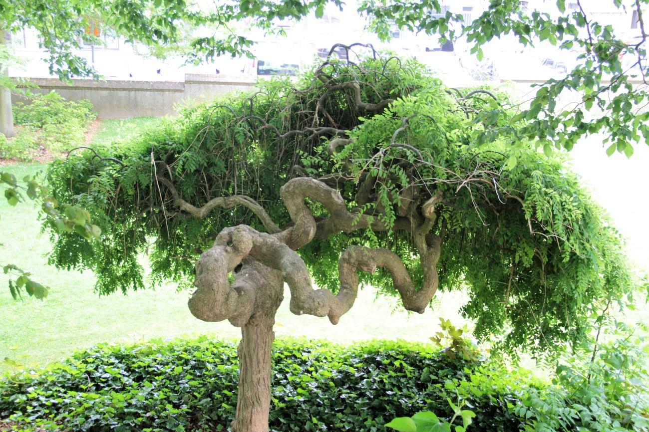 zottegem olifantenboom park kasteel lamoraal IMG_7049